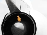 Brody bird