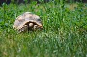 Olivia_tortoise
