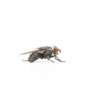 Mark Lipczynski The Common Housefly Pigmented Inkjet Print 2014 $150