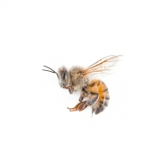 Mark Lipczynski The Honey Bee Pigmented Inkjet Print 2011 $150