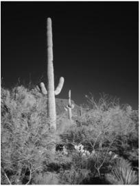 IR Saguaro B&W Scene