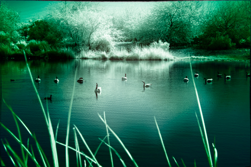 Infrared Ducks on a pond 2 Margaret Wright